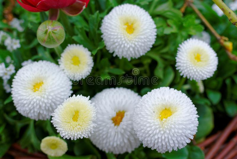 Weiße Blüte der englischen Gänseblümchen im Garten lizenzfreies stockfoto