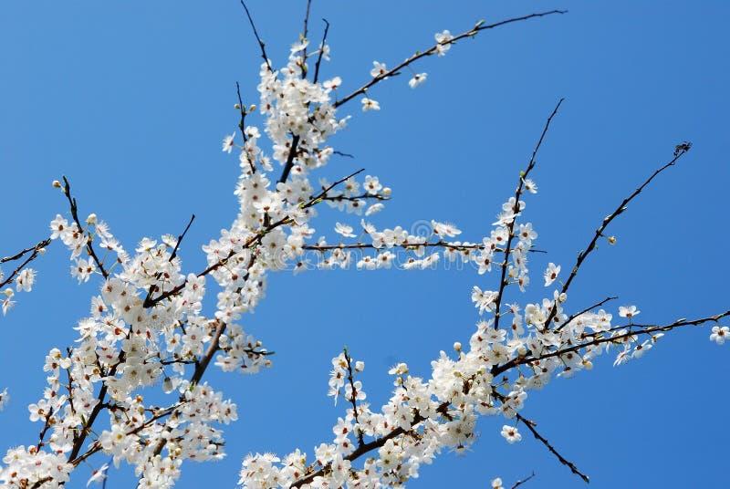 Weiße Blüte der kaukasischen Pflaume und Hintergrund des blauen Himmels stockfoto