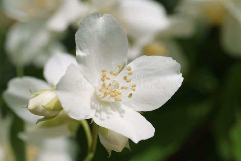 Download Weiße Blüte Der Süßen Scheinorange Stockbild - Bild von garten, blume: 26355201