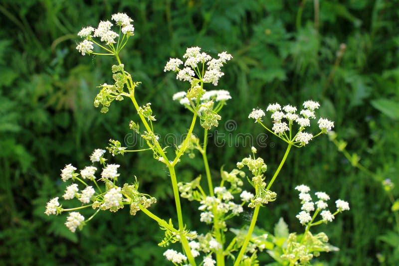 Weiße Blüte des Schierlings lizenzfreie stockfotografie