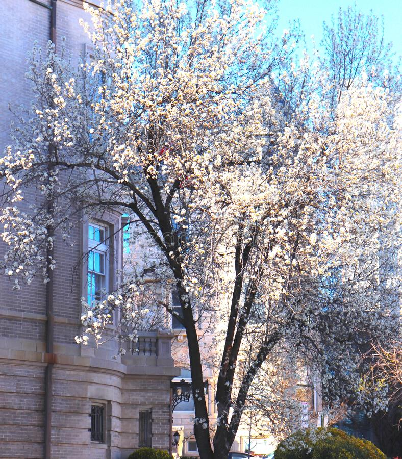Weiße Blüte großartig im Vorfrühling lizenzfreie stockfotografie