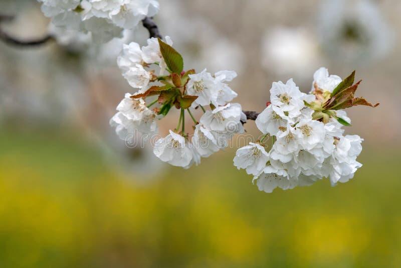 Weiße Blüten auf einer Kirschbaumniederlassung, weicher Hintergrund, üppiger Frühling lizenzfreie stockfotos
