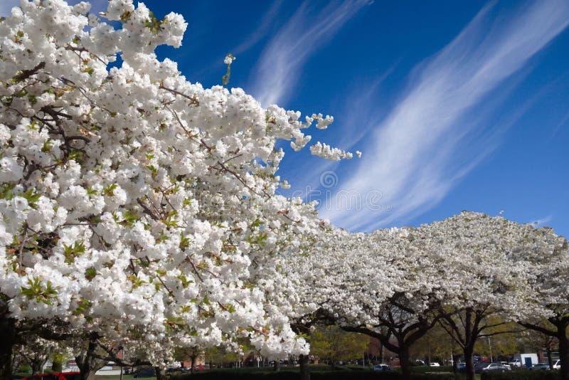 Weiße Blüten-Bäume Gegen Blauen Himmel Stockbild - Bild von portland ...