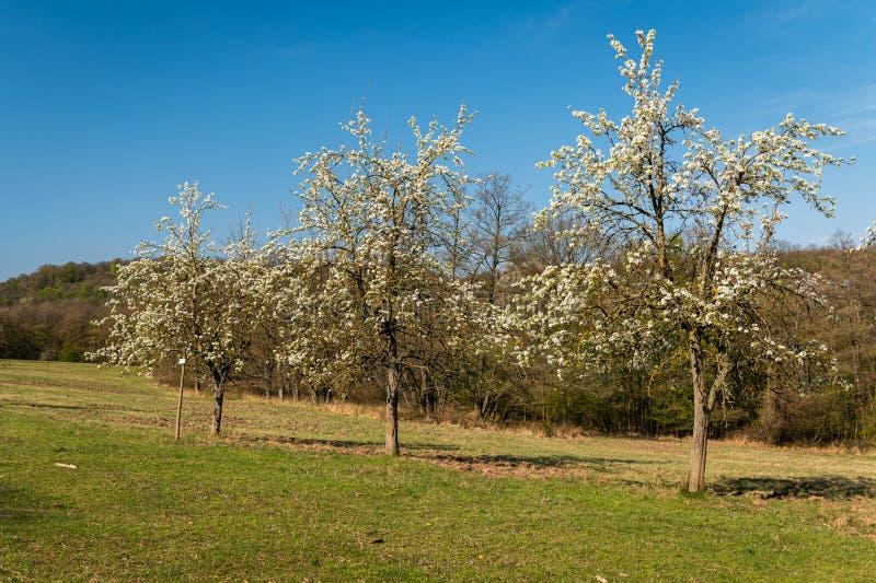 Weiße Blütenbäume an einem sonnigen Frühlingstag lizenzfreies stockfoto