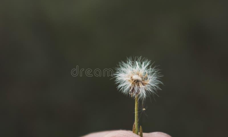 Weiße Blütendecke auf Person 's Hand lizenzfreie stockfotografie