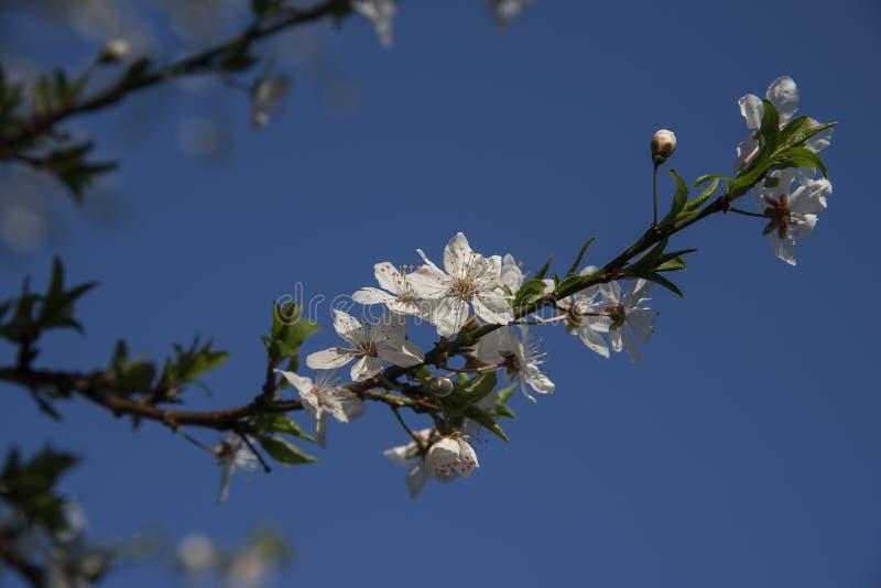 Weiße Blütenniederlassung auf einem PflaumenObstbaum gegen den blauen Himmel I stockbild
