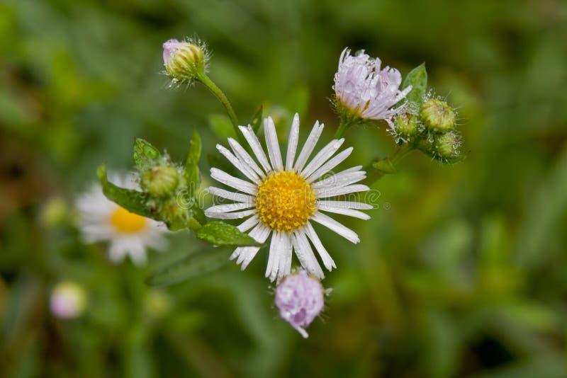 Download Weiße Blume stockfoto. Bild von knospe, betrieb, frech - 27726728