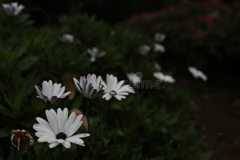 Weiße Blume Bush stockbild
