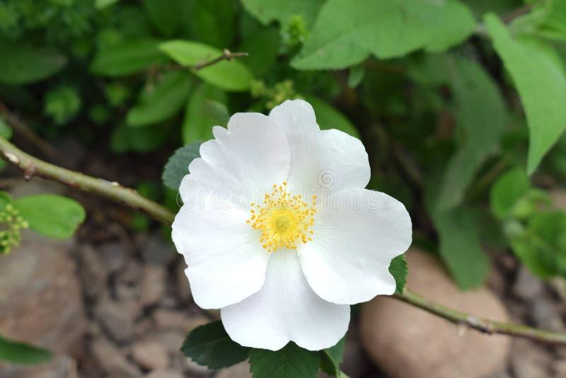 Weiße Blume in den Bergen von Krim stockbild