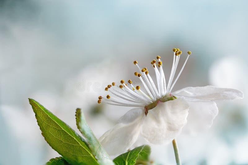 Weiße Blume der wilden Pflaume, Makroschuß gegen weiches backgrou stockfotos