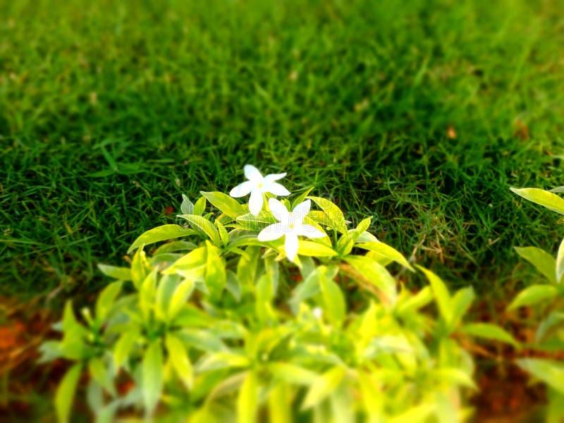 Weiße Blume des Plumeria auf grünem grasartigem Feld lizenzfreie stockfotografie