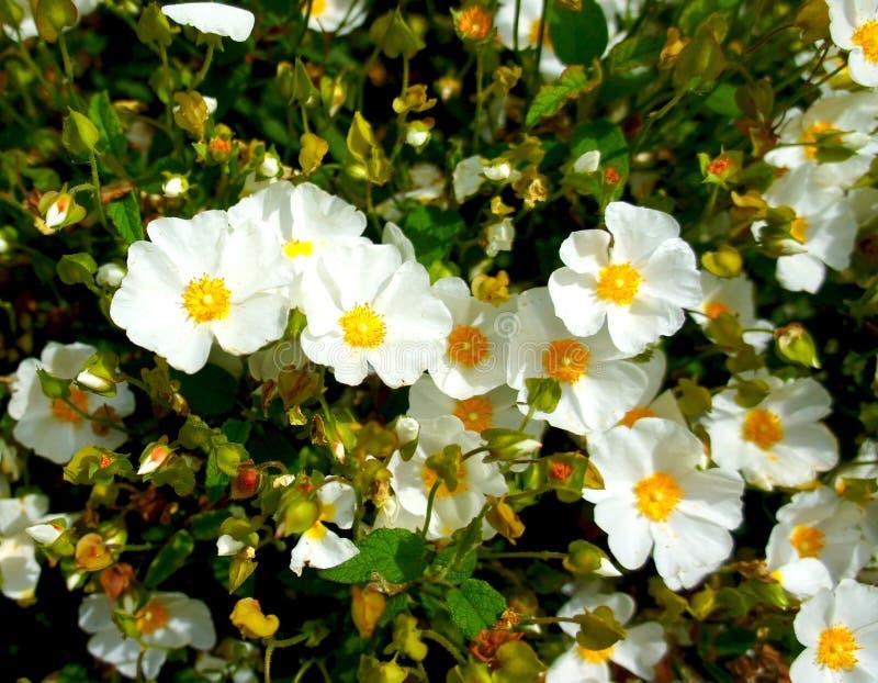 Weiße Blume des Rockrose (Cistus hybridus) stockbilder