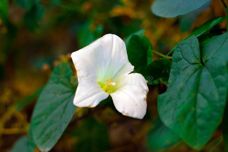 Weiße Blume, Frühlings-Zeit im Mai 2019 stockfoto