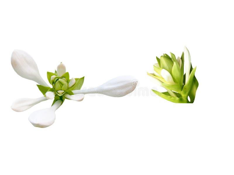 Weiße Blume getrennt lizenzfreies stockbild