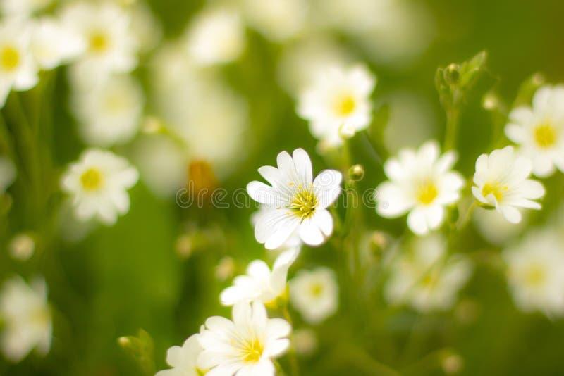 Weiße Blume heraus stehen stockfotos