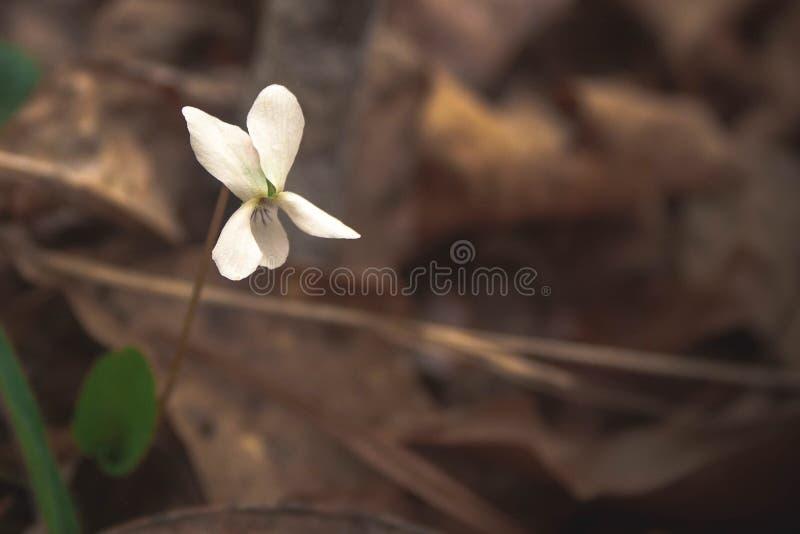Weiße Blume im Lech stockbilder