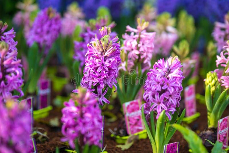 Weiße Blume Im Wald Hyazinthe Im Garten Stockfoto - Bild von ...