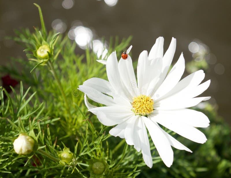 Weiße Blume, Marienkäfer lizenzfreie stockfotografie