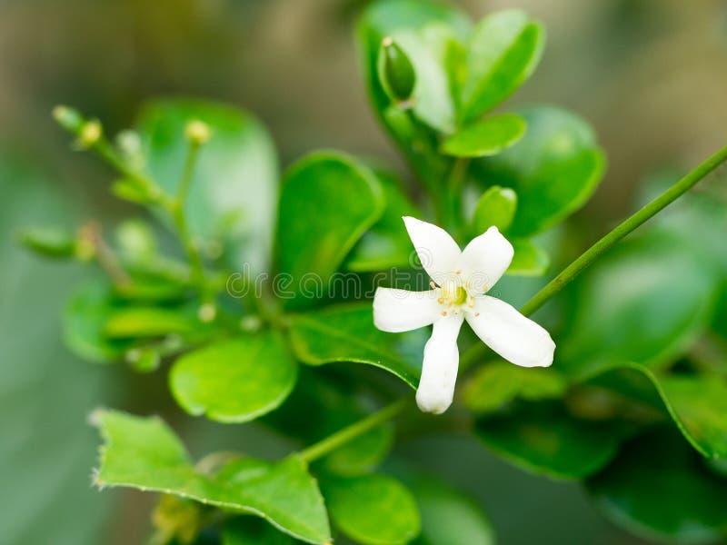 Weiße Blume, Orange Jessamine-Blume Süße Geruchblume Für Machen ...