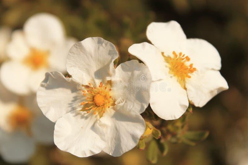 Weiße Blumen stockbild