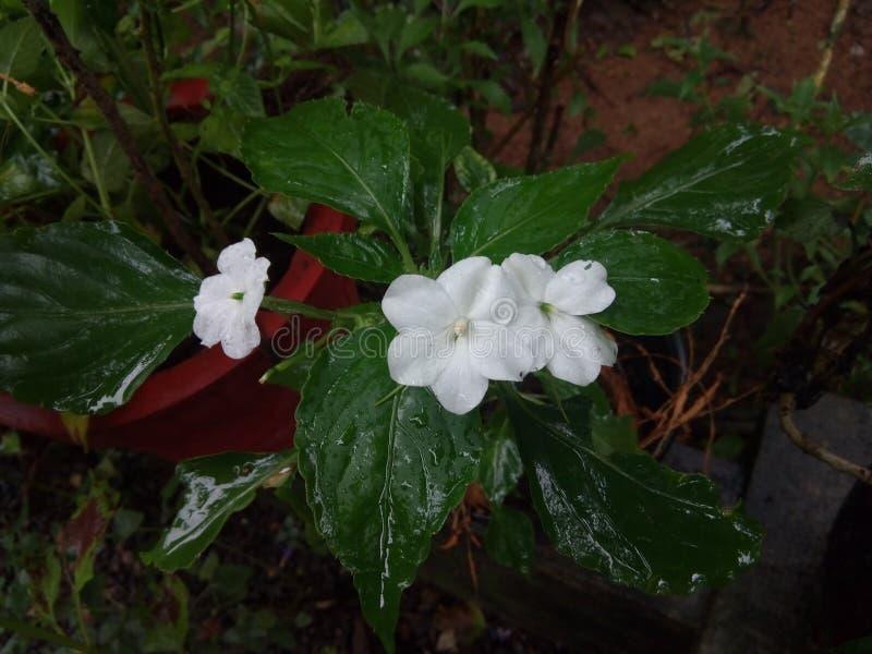 Weiße Blumen lizenzfreies stockbild
