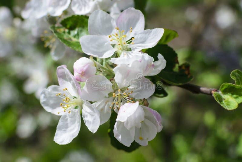 Weiße Blumen Apfelbaum stockbilder