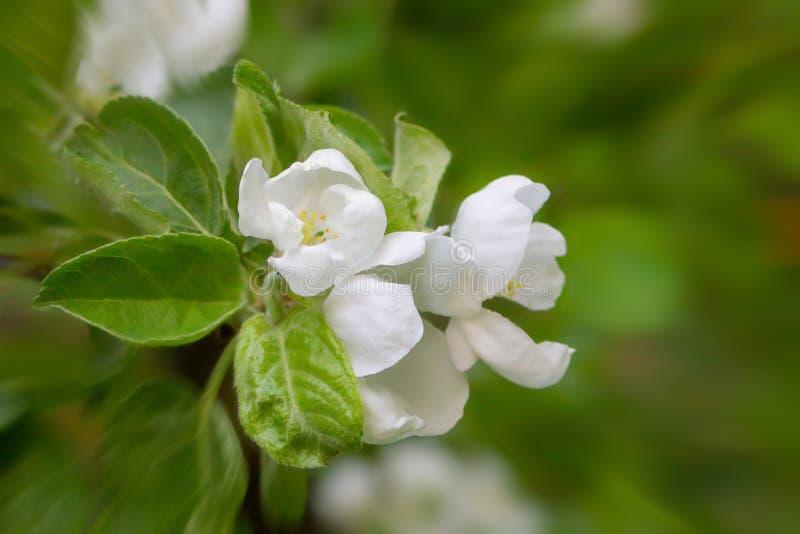 Weiße Blumen Apples mit grünem Blattnahaufnahmegarten-Hintergrundfrühling stockbild