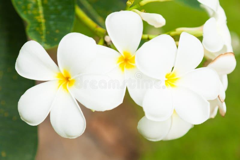 Weiße Blumen auf Bäumen stockfoto. Bild von blüte, weiß - 57079900