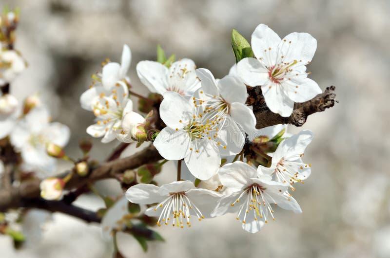 Weiße Blumen Auf Den Niederlassungen Von Bäumen Im Frühjahr ...