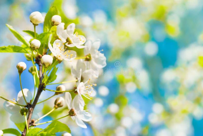 Weiße Blumen auf einem Blütenbaum lizenzfreie stockfotografie