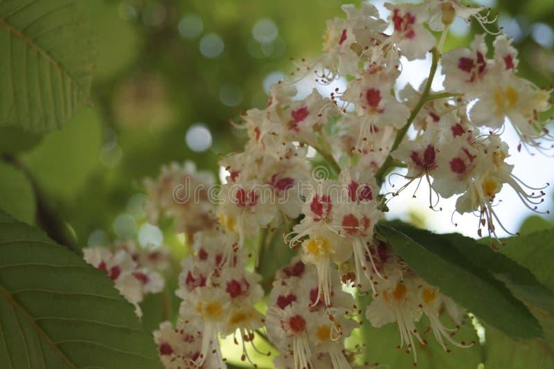 Weiße Blumen auf einem Kastanienbaum im Frühjahr lizenzfreie stockbilder