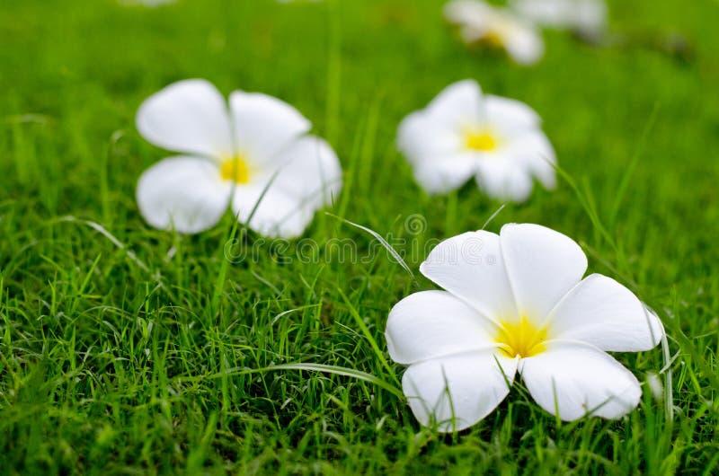 Weiße Blumen auf grünem Feld lizenzfreie stockbilder