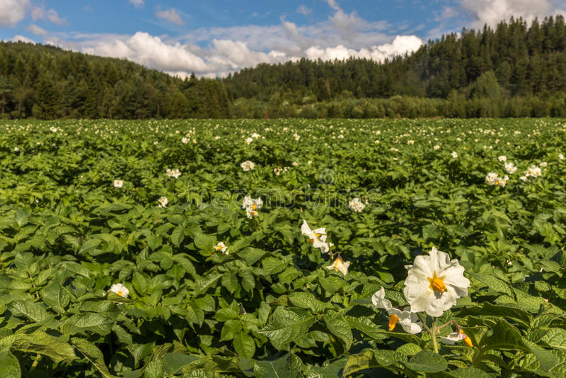 Weiße Blumen Auf Kartoffelpflanzen Mit Wald Im Hintergrund ...