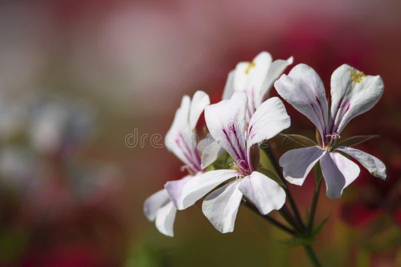 Weiße Blumen auf rotem Hintergrund stockfoto