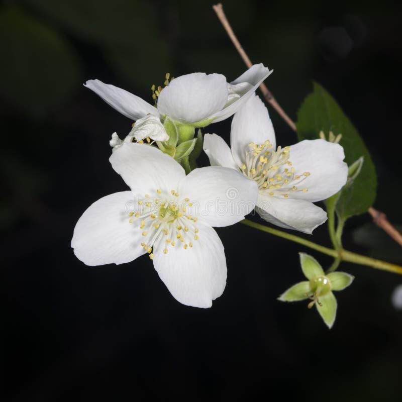 Weiße Blumen Auf Spott-orange Strauch Mit Bokeh Hintergrund, Makro ...