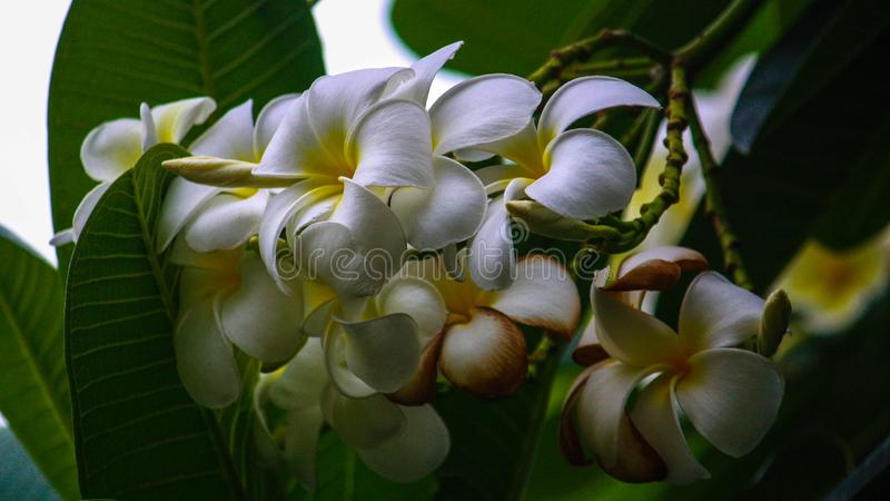 Weiße Blumen auf Thai stockfotos