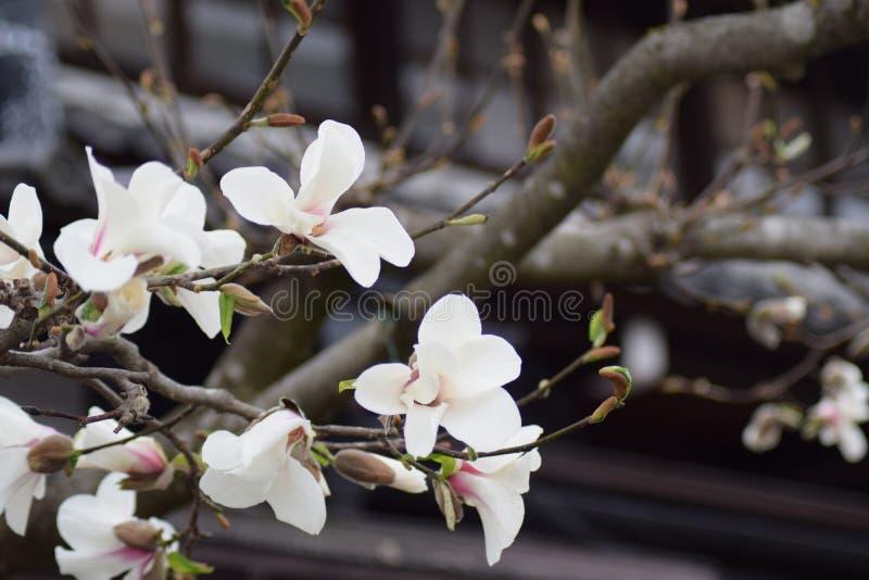 Weiße Blumen-Baum-Japaner-Garten stockbild
