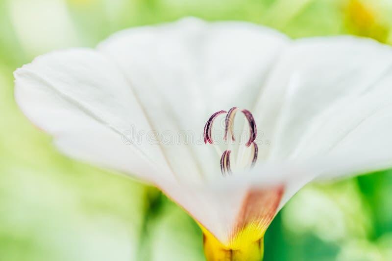 Weiße Blumen-Blütenstaub-Makronahaufnahme stockbild