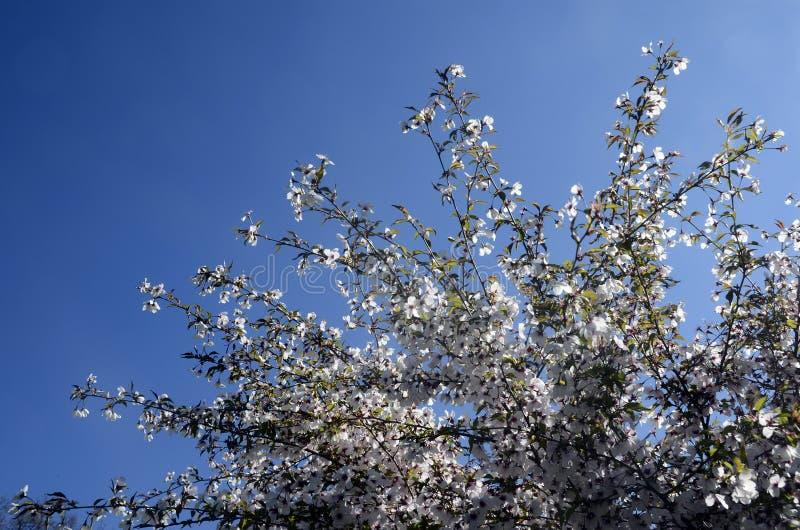 Weiße Blumen, Blauer Himmel, Kirschbaum Am Frühling Stockfoto - Bild ...