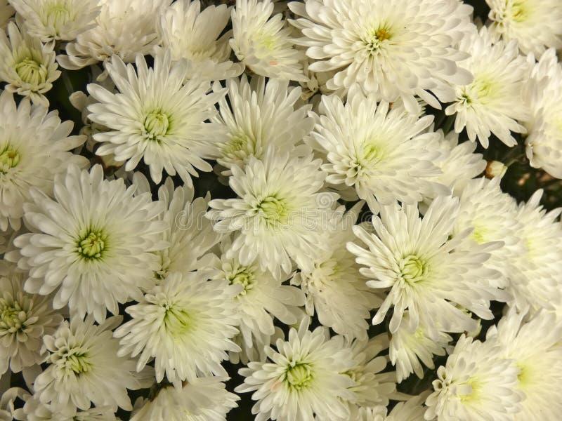 Weiße Blumen Chrysanths lizenzfreie stockfotografie