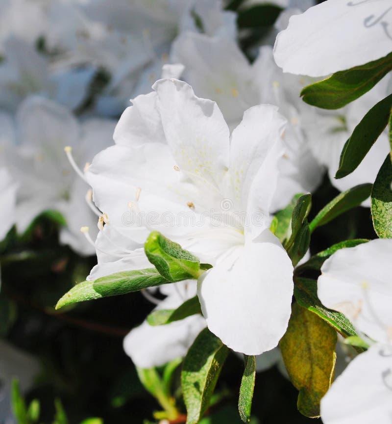 Weiße Blumen der Azaleen stockbilder