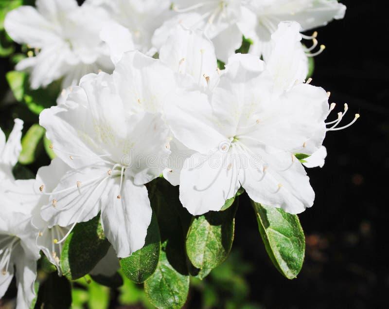Weiße Blumen der Azaleen lizenzfreie stockfotografie