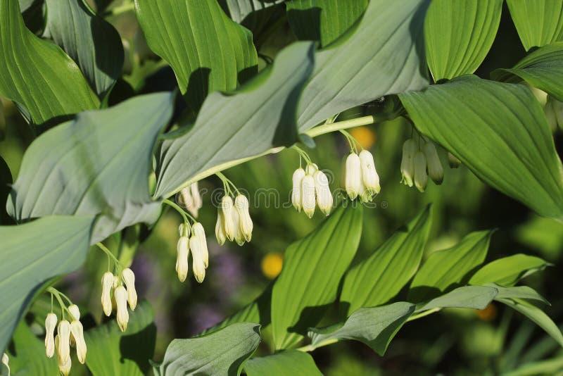 Weiße Blumen der Dichtungsanlage Solomon s der Klasse Polygonatum lizenzfreies stockfoto