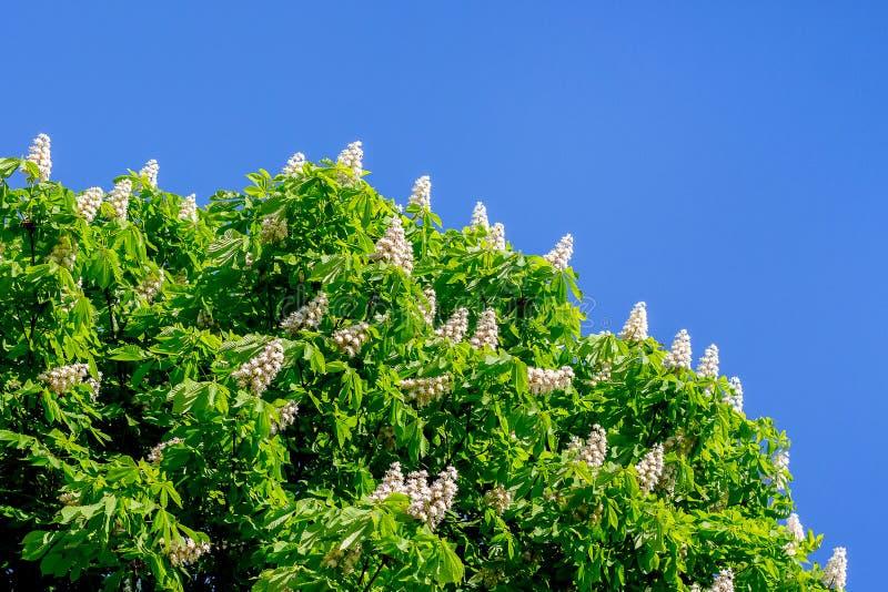 Weiße Blumen der Kastanie gegen einen Hintergrund des blauen Himmels Kopieren Sie Platz stockbild