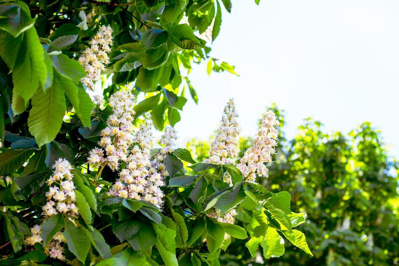 Weiße Blumen der Kastanie im Freien Kopie space_ stockbilder