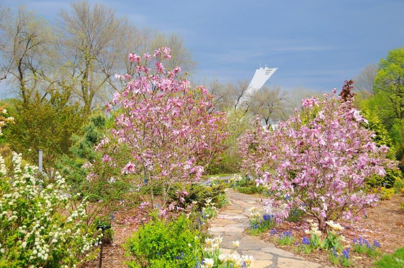 Weiße Blumen der Kirsche und der roten Tulpen lizenzfreie stockfotos