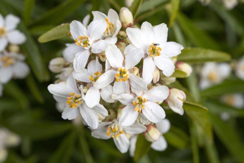 Weiße Blumen Der Mexikanischen Orange Blüte Stockfoto - Bild von ...