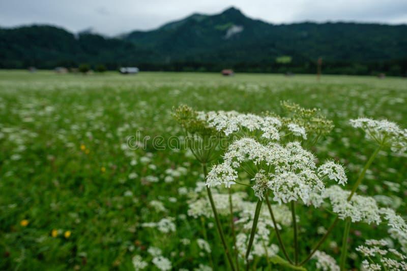 Weiße Blumen der Schafgarbe auf einer grünen Weide stockfoto