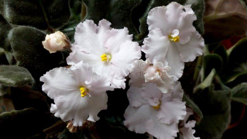 Weiße Blumen der Violablume zu Hause im Vase stockbild