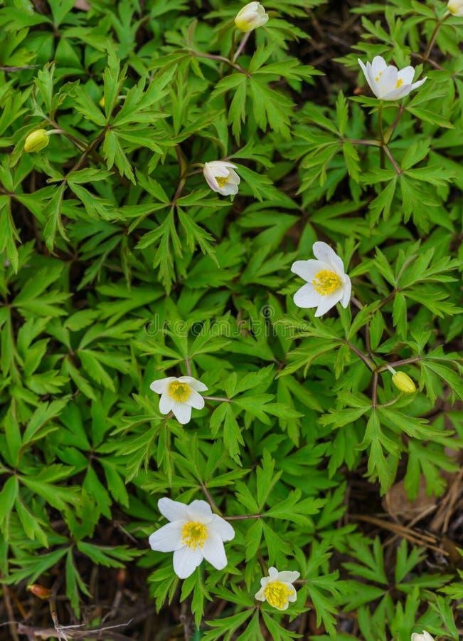 Weiße Blumen der Waldanemone im Vorfrühling im Wald lizenzfreie stockfotografie